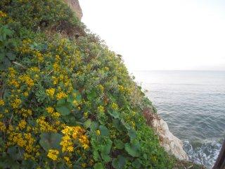 2017/11/10 冷えているのにぱしっとしない朝の海、ツワブキやイソギクなどが見下ろす岩場を黄色く染めて