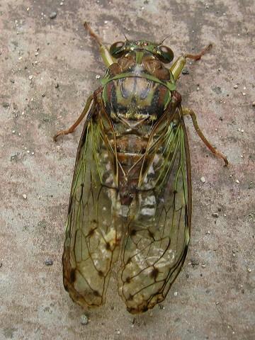 ヒグラシ : 蝉の種類と鳴き声の...
