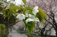 雨露滴る大島桜