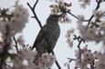 灰色空にヒヨドリ桜ついばむ