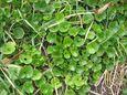 ハマヒルガオ(浜昼顔)の葉