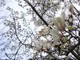 白木蓮と桜の季節の狭間で