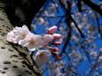 幹から咲く桜