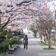桜のプロムナード西友前付近