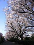 桜のプロムナード入口 左 06_43