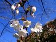 ヤマザクラ(山桜)