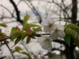 山桜の向こうに江ノ島
